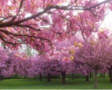 Les cerisiers en fleurs…