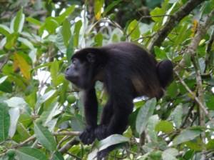 Corcovado Costa Rica - Mono congo
