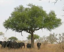 BoubaNdjinda, le repère de l'Eland de derby, la plus grande antilope d'Afrique