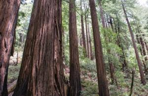 Les redwoods et séquoïas de Californie sont des arbres millénaires