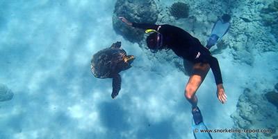 OIndien2 - Rencontre avec une tortue imbriquée à Anse Caïman, La Digu...