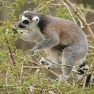 Les animaux en voie d'extinction à découvrir pendant votre voyage à Madagascar