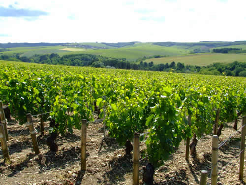 grapevines_in_chablis
