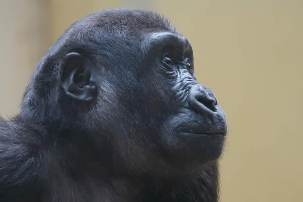 gorilla-a-la-une
